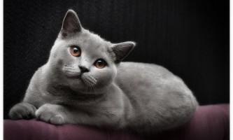 Британська кішка (британець)