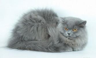 Британські довгошерсті кішки: характер і зміст