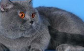Британські та шотландські кошенята блакитного забарвлення