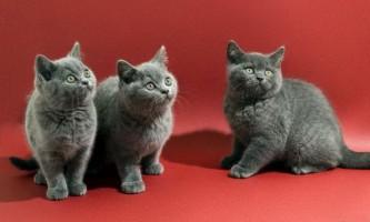 Британські кішки і маленькі діти