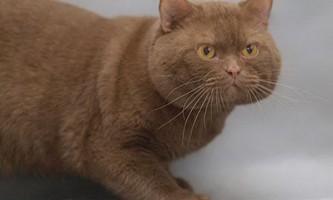 Британські кішки забарвлення циннамон