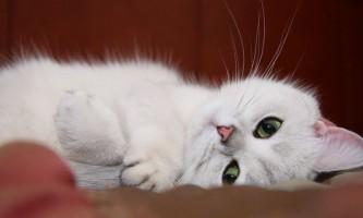 Британські кішки забарвлення фавн