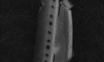 Британські вчені знайшли в стратосфері водорості і запевняють, що їх походження - іноземне