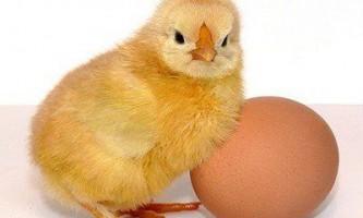 Британські вчені вирішили суперечку про курку і яйце