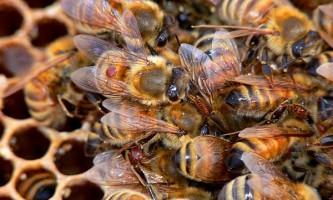 Британські вчені розробили потенційно ефективний спосіб боротьби з найлютішим ворогом бджіл - кліщем варроа