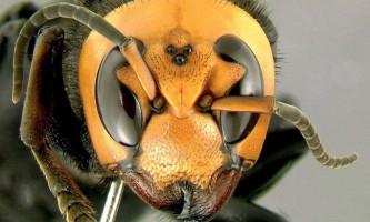 Британський бджоляр вивів бджіл, стійких до кліща варроа