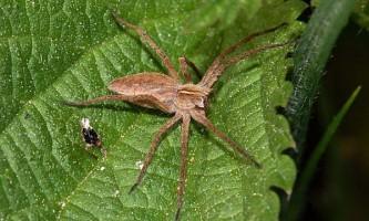 Бродячі павуки пропонують самкам видобуток як шлюбних подарунків