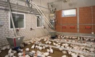 Бройлери на забій: переробка птиці