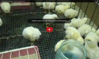 Бройлери в домашніх умовах - відео