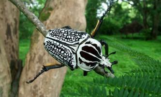 Бронзовки і жуки-голіафи
