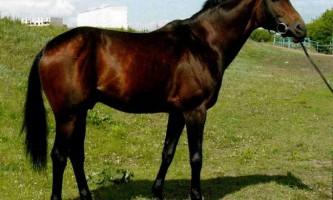 Будьоновські коні - порода з ростовської області