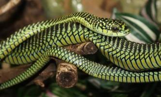 Бумсланг - африканська деревна змія