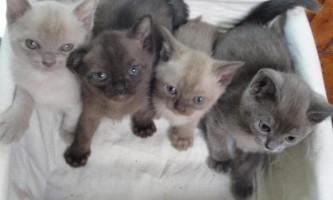 Бурманська кішка, опис породи, характер, ціна