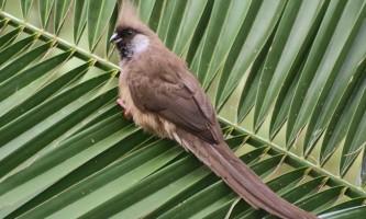 Бурокрилая птах-миша (colius striatus)