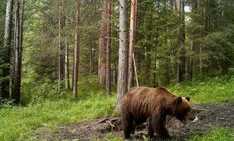 Бурі медведі- володарі тайги