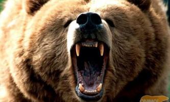 Бурий ведмідь.