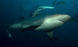 Бичача акула, акула-бик. Фото, опис риби