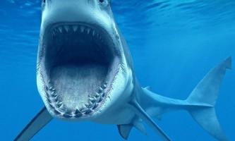 Бичача акула
