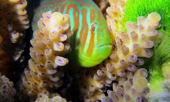 Бички допомагають коралів позбутися шкідливих водоростей