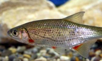 Бистрянка - риба сімейства коропових