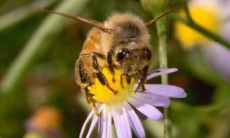 Чи буває у бджіл депресія