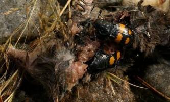Cамкі жуків-могильників поїдають занадто настирливе потомство