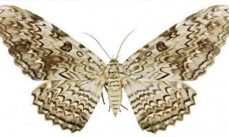 Найдешевші великі метелики в світі