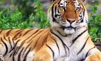 Cамий північний тигр - амурський або уссурійський тигр