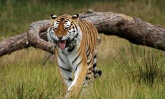 Молоді тигри і копитні знаходяться на межі загибелі в тайзі примор`я