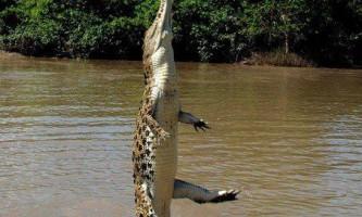 Чапля і алігатор