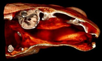 Cейшельскіе жаби (sechellophryne gardineri) слухають ротом
