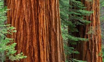 Cеквойя - найвище дерево на землі