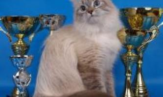 Ціни на невських маскарадних кішок