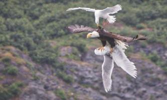 Чайка помстилася за подругу, настукавши по голові орлану