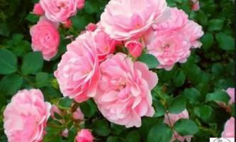 Чайна троянда догляд в домашніх умовах