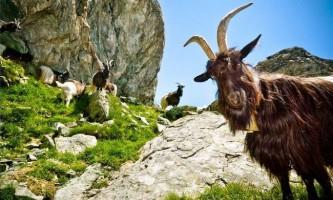 Що впав з гори козел зіштовхнув туриста з 15-метрової висоти