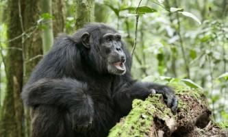 Людиноподібна мавпа шимпанзе