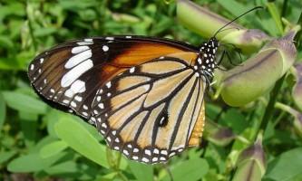 Чим метелики відчувають смак?