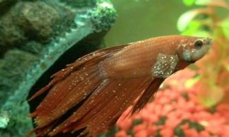 На що хворіють акваріумні рибки