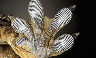 Чим чіпляються гекони?