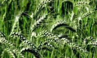 Чим і як годувати озиму пшеницю