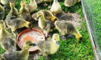 Чим годувати гусенят в перші дні життя і якого раціону дотримуватися