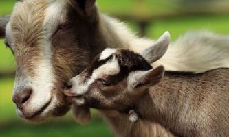 Чим годувати кіз?