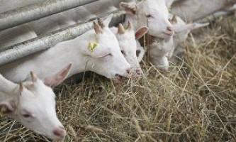 Чим годувати козу?