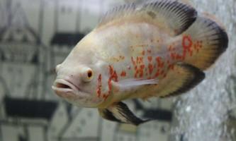 Чим годувати рибок астронотусов