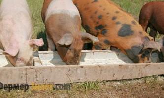 Чим найкраще годувати свиней