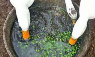 Чим можна годувати домашніх качок, види кормів, норми і раціон годування