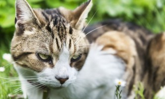 Чим небезпечний і передається чи вушний кліщ у кішок людині