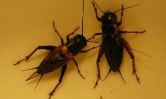 Чим харчуються комахи цвіркуни?