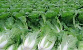 Чим корисна і шкідлива пекінська капуста